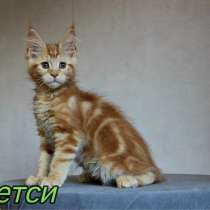 Maine Coon Red, в г.Таллин