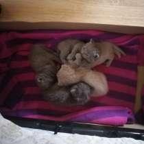 Плюшевые британские котики, в г.Полоцк