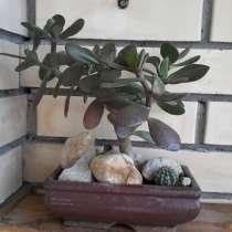 Крассула, Толстянка или Денежное дерево, в Одинцово