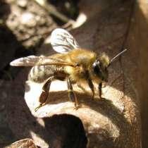 Продаю пчелосемьи. Порода Карника, в г.Шымкент
