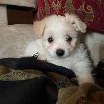 Продам щенка мальтийской болонки, в г.Жлобин