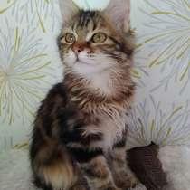 Золотая кошка Курильский бобтейл, в Москве