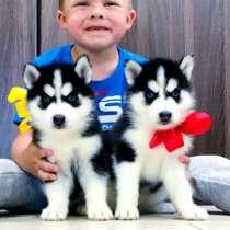 Красивые черно-белые щеночки хаски, в Перми