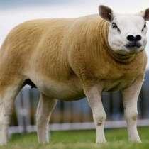 Племенные овцы Тексель (Скот из Европы класса Элита), в Красноярске