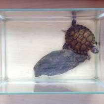 Красноухая черепаха, в Тольятти