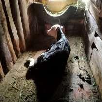 Продается теленок бычок, в Казани