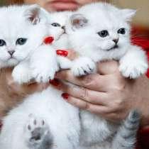 Британские котята серебристой шиншиллы, в Санкт-Петербурге