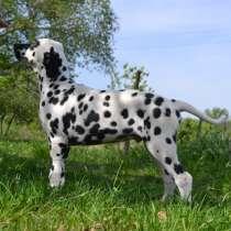 Dalmatian Puppies from White Gures, в г.Acton Bridge