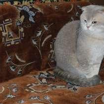 Шотландский кот на вязку, в Жуковском