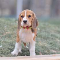 Продаётся щенок Бигль 4 месяца, Девочка, в г.Тель-Авив
