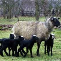 Романовские овцы, в Омске