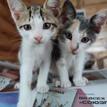 Брат и сестра котята 1.5 мес, в Саках