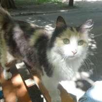Кошечка даром-шотландка хайленд страйт, в г.Мариуполь