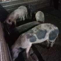 Продаю свиней, в Туле