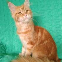 Свободный котенок Мейн Кун, в Екатеринбурге