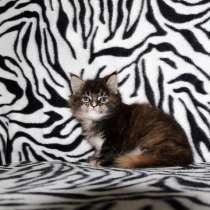 Котенок-девочка мейн кун, в Новосибирске
