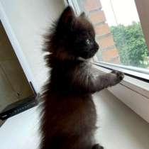 Шоколадная котёнка Чича ищет дом, в Москве