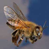 Пчелопакеты в Кемерово Доставка бесплатная, в Кемерове