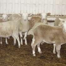 Племенные овцы породы Катумская (Скот из Европы), в Красноярске