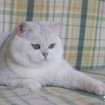 Британский кот на вязку, для вислоушек и прямоушек!, в г.Луганск