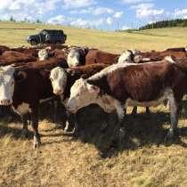 Телки казахская белоголовая, в Челябинске