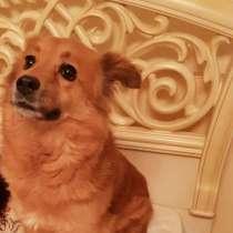 Небольшая домашняя рыжая собачка Белка в дар, в Москве