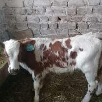 Продам теляток бычки, в Белгороде