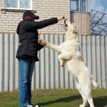 Central Asian Shepherd, в г.Харьков