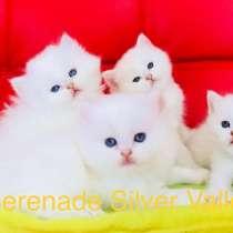 Голубоглазые котята Bri ns 11 33, в Самаре