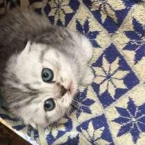 Продаются британские котята, в г.Кривой Рог