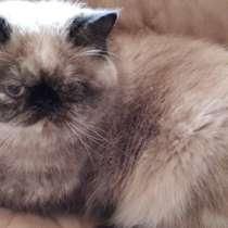 Кошка экзотка, в г.Могилёв