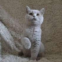 Британские чистокровные котята, в Воронеже