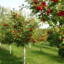 Саженцы плодовых деревьев оптом и в розницу, в Москве