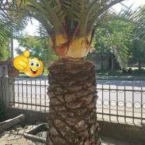 Продаются Финиковые Пальмы, в г.Тбилиси