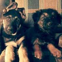 Продам щенков, в Краснодаре