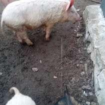 Поросята и свиньи, в Волгограде