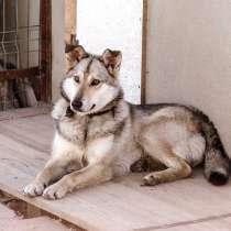 Молодой роскошный и пушистый пёс, в Санкт-Петербурге