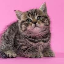 Продается британский котенок, девочка, в г.Минск