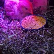 Цыплёнок, в г.Киев