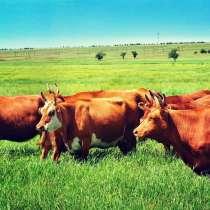 Коровы калмыцкой мясной породы, в Краснодаре