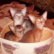 Абиссинские котята разных окрасов, в Москве