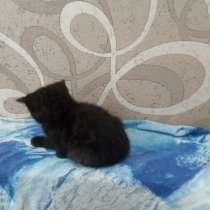Котёнок Британец, в Челябинске
