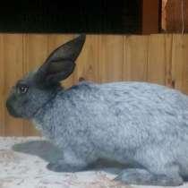 Кролики полтавское серебро, в г.Луганск