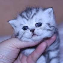 Британские котята пятнистые серебристые, в Москве