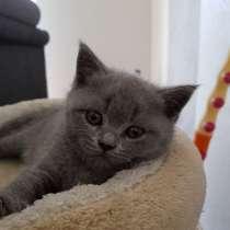 Британские короткошерстные котята, в г.Рютен