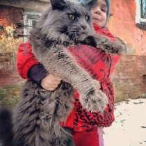 Котята мейн кун, в Калининграде