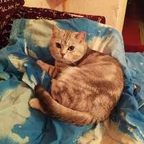 Серый кот британец, в г.Солигорск