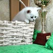 Британские котята окраса серебристая шиншилла, в г.Вильнюс