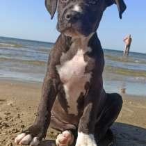 Продам щенка Американского стаффордширского терьера, в г.Мариуполь