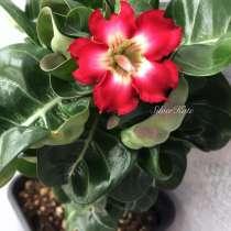 Куплю цветок или семена то кого адениума, в г.Тирасполь